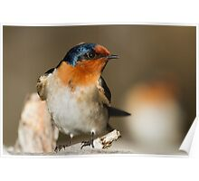 Perky Swallow Poster