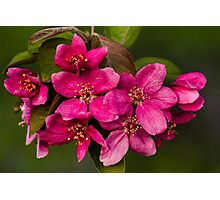 Crabapple Blossoms Photographic Print