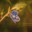 Germander Speedwell , Veronica chamaedrys, Wild Flower by Hugh McKean