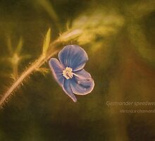 Germander Speedwell , Veronica chamaedrys, Wild Flower by Hugh McKean
