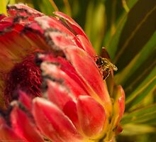 Bee and Protea by Brandon Dyzel