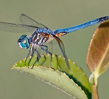 Blue Dasher Dragonfly on Camellia Leaf by Bonnie T.  Barry