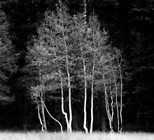 Birch Grove, Kaibab National Forest by Jonathan Maddock