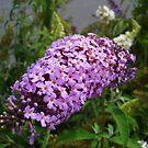 Butterfly Bush by charmedy