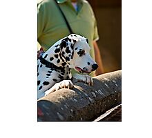 Dalmatian watching over a wall Photographic Print