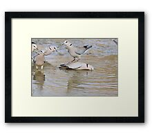 Turtle Dove - Wild Bird Background from Africa - Funny Nature Framed Print