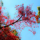 Illawarra Flame Tree by ronsphotos