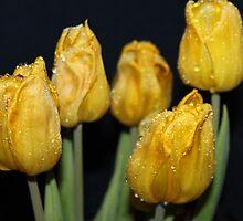 Dark yellow rain drop  tulips by Joshua Fronczak
