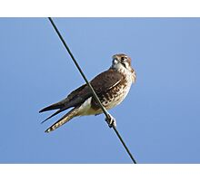 RAPTOR ~ Brown Falcon by David Irwin Photographic Print
