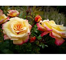 Sweet Fragrant Roses Photographic Print