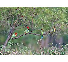 PARROT ~ Eastern Rosella by David Irwin Photographic Print
