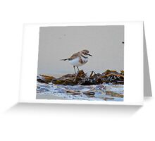 SHOREBIRD ~ Double-banded Plover by David Irwin Greeting Card