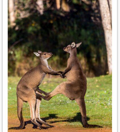 Fighting Kangaroos Sticker