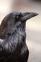 The Raven by J. L. Gould
