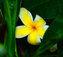 Plumeria In Hiding by Adam Kuehl