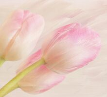 Pink Tulips V by afeimages
