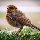 Juvenile Robin -UK Wildlife by Dave  Frost