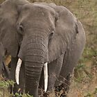 African elephant by msayuri