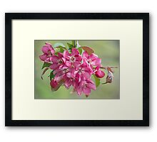 Crabapple Blossoms Framed Print