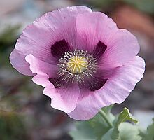 Pretty pink poppy . by Irene  Burdell
