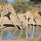 Giraffe - African Wildlife Background - Drinking Time by LivingWild