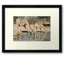 Giraffe - African Wildlife Background - Drinking Time Framed Print