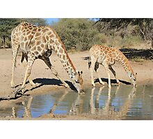 Giraffe - African Wildlife Background - Drinking Time Photographic Print