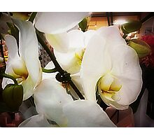 *White Orchid - Plaza* Photographic Print