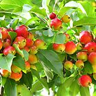 Crab Apples by Marilyn Harris