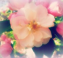 Crab Apple Blossom by EdsMum