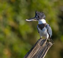 Fish on! - Belted Kingfisher by Jim Cumming