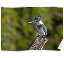 Fish on! - Belted Kingfisher Poster