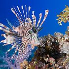 lionfish by abeer hassan