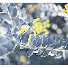 winter wattle by Kim Jackman