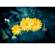 Beautiful yellow flowers growing in a garden Photographic Print