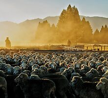 Drenching the sheep - Glenmore farm by Colin White
