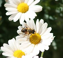 Bee on a Daisy by rhamm
