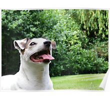 Jack russel 1 Poster