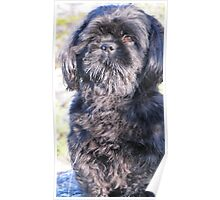 A cute little shih tzu on walk Poster
