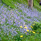 Bluebells and Dandelions by AnnDixon