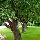 Crab-Apple Row  (Municipal Green # 3) by goddarb