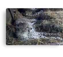 cheetah asleep  Canvas Print
