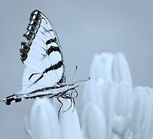 Swallowtail butterfly ~ on lily buds by Laurie Minor