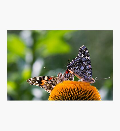 Painted Lady Butterflies II Photographic Print