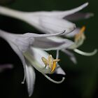 Hosta Boom by aprilann