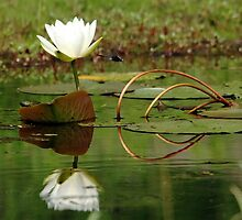 White Water Lily by Debbie Oppermann
