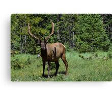 Bull ELK licking his lips Canvas Print