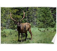 Bull ELK licking his lips Poster