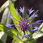 Centaurea Montana Blue flower by Linda  Makiej