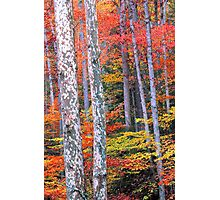 SYCAMORE,AUTUMN Photographic Print